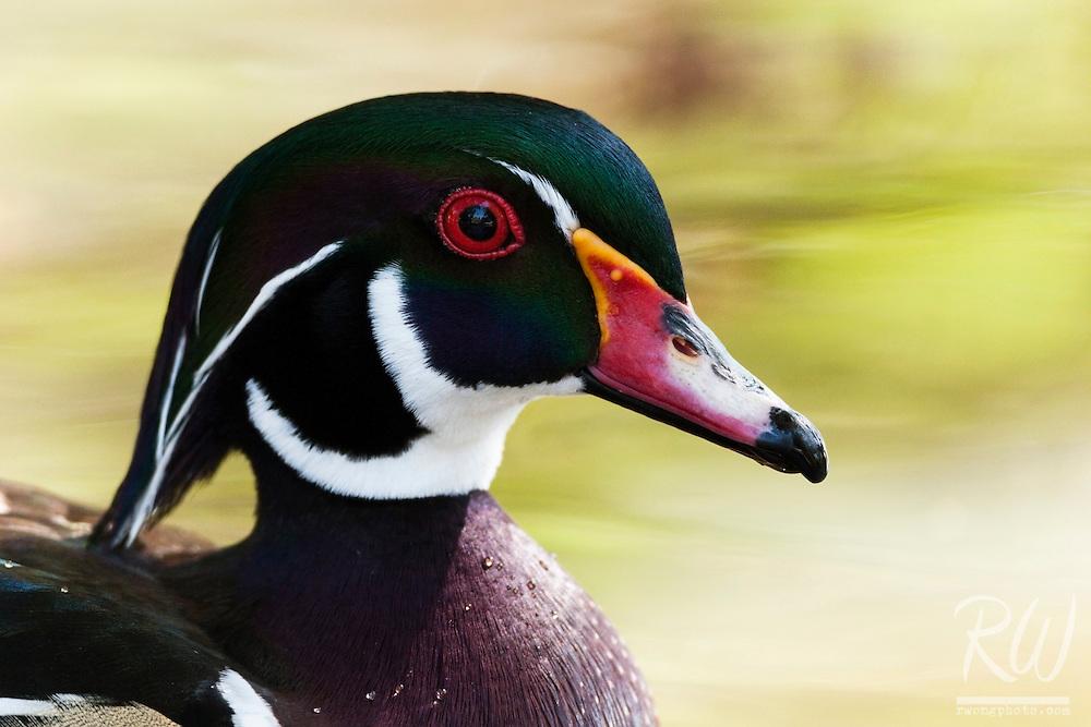 Wood Duck (Aix sponsa) at L.A. County Arboretum, Arcadia, California