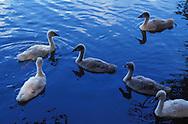 DEU, Germany, young mute swans (lat. Cygnus olor)....DEU, Deutschland, junge Hoeckerschwaene (lat. Cygnus olor)........