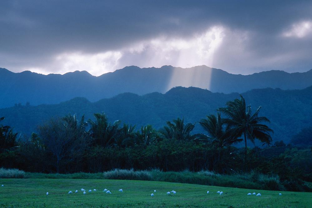 Crepuscular Rays (AKA God Beams) and Cattle Egrets (Bubulcus ibis) at Lualoa Park, Oahu, Hawaii, US