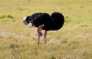 Ostrich,  Ngorongoro, Tanzania, East Africa