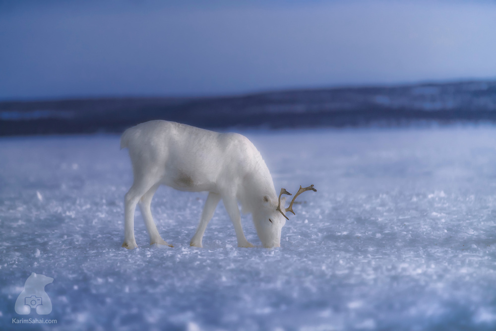 A young reindeer looks for food on a frozen lake near Rovaniemi, in Finland's Lapland region. Centuries before borders separated land into countries we know today, the nomadic Sami people roamed the arctic regions between Russia's Kola peninsula and Northern Norway. Their life followed the seasonal reindeer migrations and their spiritual beliefs were deeply connected to the land and all the abundance it provided. Although the political frontiers and the rapid pace of industrial development has severely affected the natural state of Europe's Arctic regions and, in part, nomadic traditions, the Sami of today hang onto their language and culture. Sami reindeer herding as a livelihood is a rare sight, but if you ever roam around Lapland, you may well encounter real herders and see beautiful animals such as the one I photographed above, in the far north of Finland.