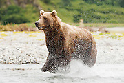 USA, Katmai National Park (AK).Brown bear (Ursus arctos) running in the water