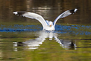 Seagull with a fish in it's beek | Måke med fisk i nebbet.