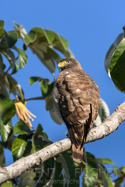 A raptor in the Pantanal, Mato Grosso do Sul, Brazil