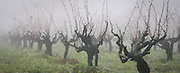 Foggy winter morning in Von Weidlich Vineyard on Harrison Grade near Occidental, California. These vines were planted in 1937 and yield premium Sonoma County old vine zinfandel wine grapes, produced by Ottimino.