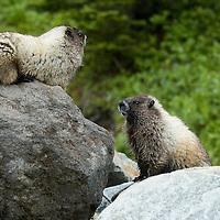 Olympic Marmot - Marmota olympus