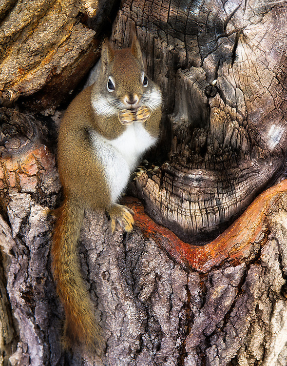 The Red Squirrel is found in both coniferous forest and temperate broadleaf woodlands. It is a solitary animal and is shy and reluctant to share food with others. It eats mostly the seeds of trees, fungi, nuts (especially hazelnuts but also beech and chestnuts), berries, and young shoots.<br /> <br /> Available sizes:<br /> 18&quot; x 12&quot; print or canvas print<br /> <br /> See Pricing page for more information Also available as a mousepad or greeting cards.