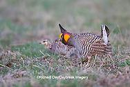 00842-04011 Greater Prairie-Chickens (Tympanuchus cupido)  male booming displaying near female on lek Prairie Ridge State Natural Area Jasper Co, IL
