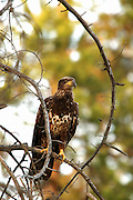 Golden eagle on snag. Yaak Valley, northwest Montana.