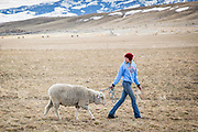 Duckworth wool Helle Ranch need Dillon, Montana, March 9, 2016.  Photo by David Stubbs