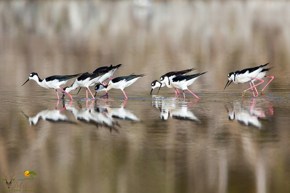 Black-necked Stilts reflected in water while feeding
