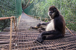South Africa - Plettenberg Bay - 21 May 2020 - A Spider Monkey sits on the sustpension brige at Monkeyland just outside Plettenberg Bay in the Garden Route. Monkeyland, the worlds first free roaming multi-specie primate sanctuary, when not in lockdown, offers tours during which one can see more than 550+ primates comprising of capuchin monkeys, ringtail and black-and-white ruffed lemurs, saki monkeys, squirrel monkeys, vervet monkeys, 2 species of langur, howler monkeys, gibbons, etc in their forest home. There is also a 128-metre suspended canopy walk whilst on tour. In line with the national effort to confront the spread of the COVID-19 virus, the sanctuaries, Monkeyland, Birds of Eden, Jukani and Monkeyland KZN are temporarily closed. South Africa is currently under lockdown in an attempt to flatten the curve to halt the spread of the COVID-19 coronavirus pandemic. Picture: David Ritchie/African News Agency(ANA)