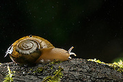 A small snail, possibly a Oregon Forest Snail (Allogona townsendiana) photographed on a riany night in the columbia river gorge, Oregon.