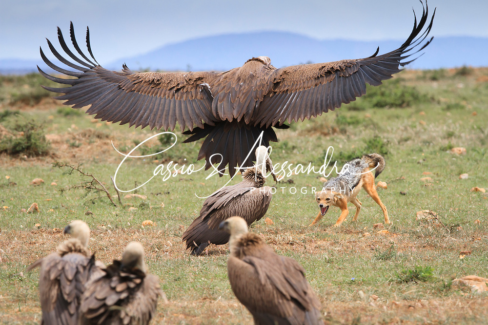 Kenya - Maasai Mara - Black-backed Jackal - Canis mesomelas - and Lappet-faced vulture - Torgos tracheliotos - Interaction between a jackal and the vultures around the remainings of a wildbeest calf, the jackal was standing groung facing the vulture which decide to fly towards him to send him away.