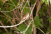 A male Song Sparrow perched on a vine branch that overhangs a small creek.