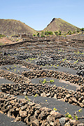 Dry stone walls and grapevines in sheltered enclosures, near Orzola, Lanzarote, Canary Islands, Spain - La Quemada de Orzola volcano