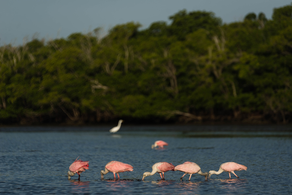 Roseate Spoonbills feed at low tide in Lane Cove in the Florida Everglades