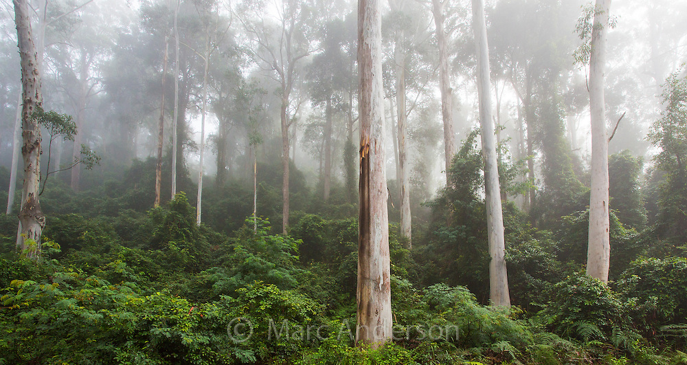 Beautiful tall eucalyptus forest in early morning mist, Watagans National Park, near the Central Coast of NSW, Australia