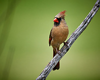 Northern Cardinal. Image taken with a Nikon D5 camera and 600 mm f/4 VR telephoto lens (ISO 1100, 600 mm, f/4, 1/1250 sec).
