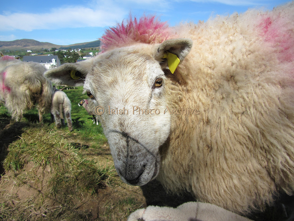 Donegal Sheep, I'm cool with my pink hair do