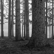 """""""Fog Within the Pines"""" B&W<br /> <br /> Beautiful fog covered landscape! Fog enveloped trees in black and white!<br /> <br /> All about Fog by Rachel Cohen"""