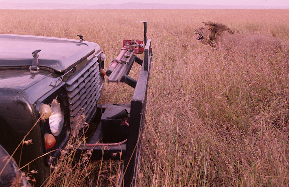 Africa, Kenya, Masai Mara Game Reserve, Adult Male Lion (Panthera leo) walks past safari truck in tall grass at dusk