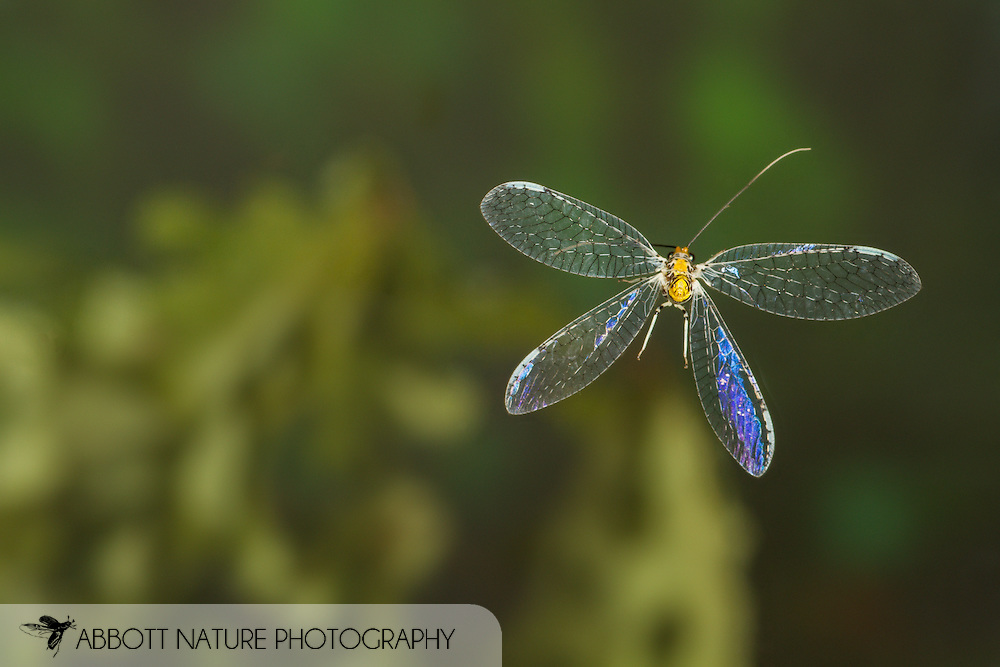 Green Lacewing (Abachrysa eureka)<br /> ALABAMA: Tuscaloosa Co.<br /> Tulip Tree Springs off Echola Rd.; Elrod<br /> 30-May-2016<br /> J.C. Abbott #2823 &amp; K.K. Abbott