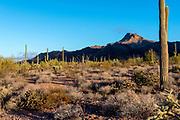 Morning in Organ Pipe Cactus National Monument, southern Arizona.
