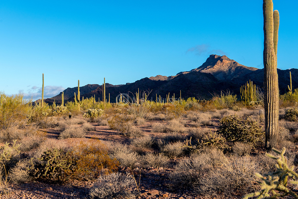 Morning in Organ Pipe Cactus National Monument, southern Arizona.
