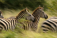 Close-up view of common zebras (Equus burchelli) running through grasslands, slow shutter blur.