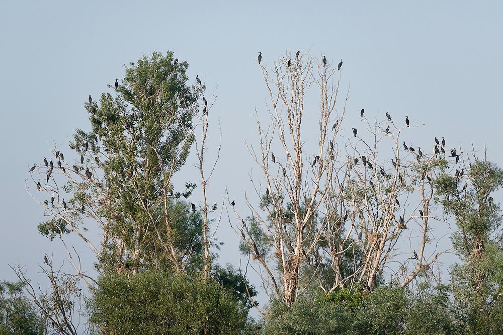 Pygmy Cormorant (Phalacrocorax pygmeus) colony on the top of the trees, Lake Tisza, Hortobagy National Park, Hungary