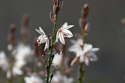 Asphodelus ramosus, also known as branched asphodel Photographed in The Negev Desert, Israel in March