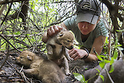 Coyote <br /> Canis latrans<br /> Abby-Gayle Prieur, Wildlife Research Technician of the Cook County Coyote Project, pulls a three-week-old coyote out of den<br /> Chicago, Illinois<br /> *Model release available