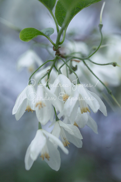 Halesia diptera var. magniflora (Large-flowered Silverbell, American snowdrop tree, Two-wing Silverbell 'Magniflora') blossom
