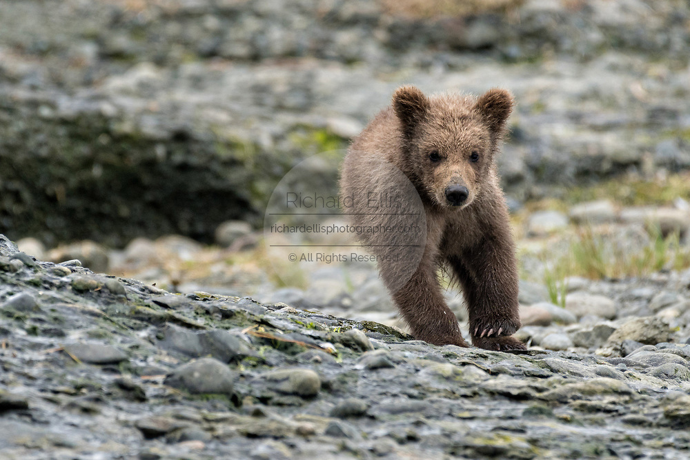 A Brown bear spring cub plays along the lower lagoon at the McNeil River State Game Sanctuary on the Kenai Peninsula, Alaska. The remote site is accessed only with a special permit and is the world's largest seasonal population of brown bears in their natural environment.