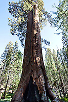 Giant redwood tree towering up to the sky, Yosemite. Landscape and nature wall art. Fine art photography prints, stock images.