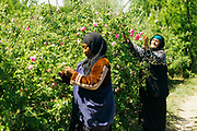 Rose farmer harvests rose flowers in Kelaat M'Gouna, Dades Valley - known as the 'valley of roses' - Southern Morocco, 2016-05-14.<br /> <br /> When the roses begin to bloom and the picking season begins, people from all around the region secure work harvesting the flowers in the fields. Pickers who do not own their own land and need work during the harvesting season can expect to be paid 13-15dh for each kilo of roses and it is possible to earn 100dh in a day, if few breaks are taken. <br /> <br /> The picking season lasts for around 3 weeks and while the roses are in full bloom the entire valley of Kelaat Mgouna quite literally 'smells of roses.' Stepping down into the rose valley, only a short walk from the main roadside, feels like a different world to the nearby festival celebrations in the town centre. No noise or pollution from traffic, only birdsong and a gentle calmness in the air as the day breaks and the locals peacefully go about their work.