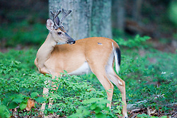 Male white-tailed deer / Odocoileus virginianus..A young white-tailed buck with velvet antlers in Charlottesville, Virginia.