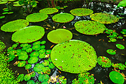 Lilly pads in the Ginger Garden at Singapore Botanic Gardens, Singapore, Republic of Singapore