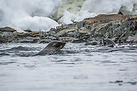 Fur seals swimming in the icy antarctic waters.