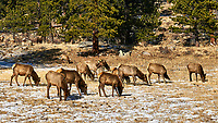 Herd of Elk in Rocky Mountain National Park. Image taken with a Nikon D300 camera and 17-35 mm f/2.8 lens (ISO 200, 35 mm, f/8, 1/250 sec).