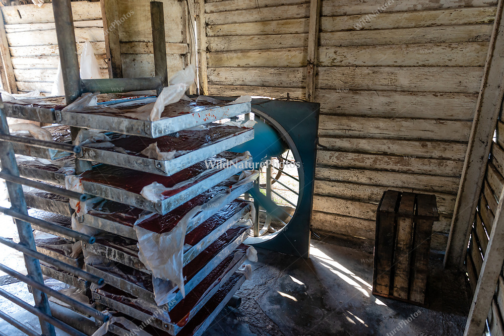 Trays of reduced Guyaba are cooled by a fan during the process of making Guyaba bars (Florida, Camagüay Province, Cuba).
