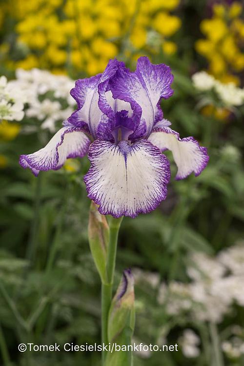 Iris 'Bold Print'