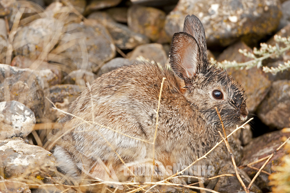 A Desert Cottontail stands very still against a rock pile during a heavy rainstorm in the west desert of northern Utah.