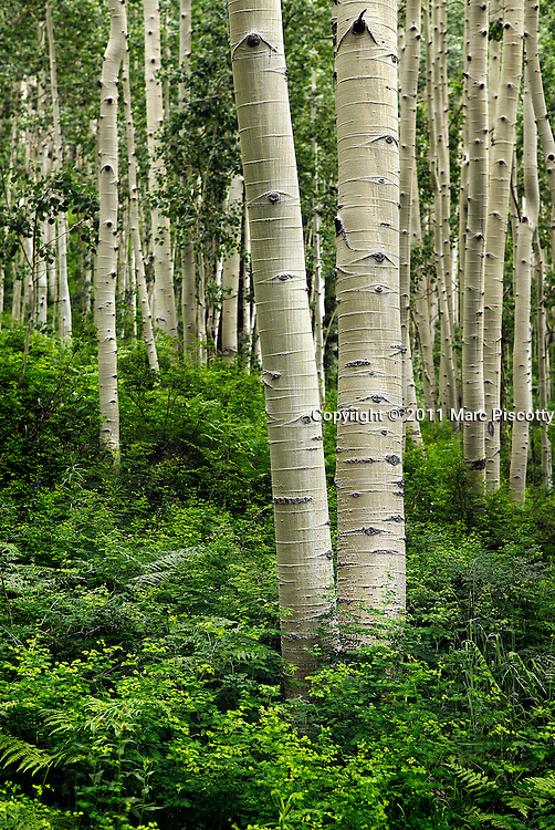 SHOT 7/16/11 1:00:22 PM - Aspen tree trunks and lush vegetation in a massive grove in Durango, Co. Populus tremuloides is a deciduous tree native to cooler areas of North America. The species is referred to Quaking Aspen, Trembling Aspen, and Quakies, names deriving from its leaves which flutter in the breeze. The tree-like plant has tall trunks, up to 25 metres, with smooth pale to white bark, scarred with black. The glossy green leaves, dull beneath, become golden to yellow in autumn. The species rarely flowers, often propagating through its roots to form large groves. It propagates itself primarily through root sprouts, and extensive clonal colonies are common. (Photo by Marc Piscotty / © 2011)