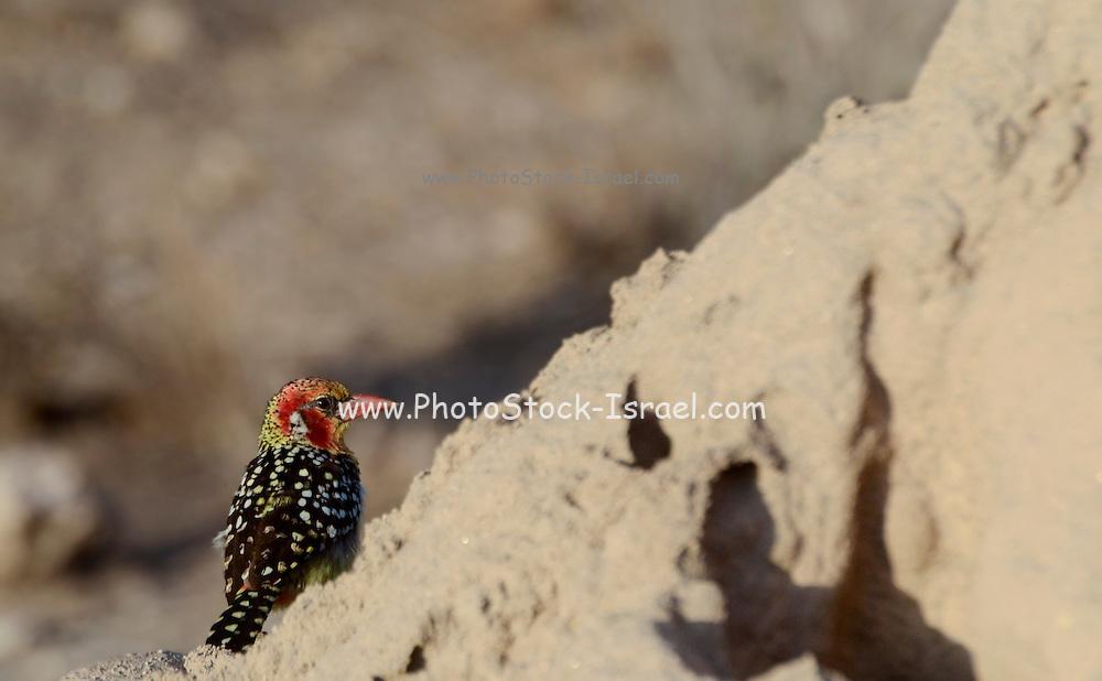 Red-and-yellow Barbet (Trachyphonus erythrocephalus), Samburu, Kenya