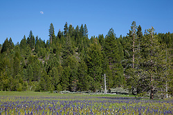 """Camas Lilies at Sagehen Meadows 4"" - These camas lily flowers and moon were photographed at Sagehen Meadows, near Stampede Reservoir, Truckee."