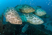 Goliath Grouper, Epinephelus itajara, gather near the Mispah shipwreck offshore Singer Island, Florida, United States, during a spawning aggregation in August 2014. Fish with spawning coloration. Image available as a premium quality aluminum print ready to hang.
