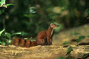 Northern ringed-tailed mongoose {Galida elegans dambrensis} sitting, Ankarana Reserve, Madagascar