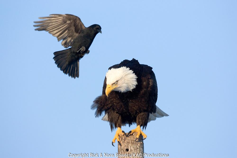 Bald Eagle .Haliaeetus leucocephalus.Homer, ALASKA, USA.February     Adult being attacked by Northwestern Crow (Corvus caurinus).     Accipitridae